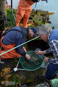 Oregon Coast Aquarium - Director of Animal Husbandry - Jim Burke (left) helps Professor John Chapman of Oregon State University collect samples for invasive species research